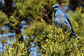 Mountain Bluebird near Hampton Butte - Ryan Franklin (11409294685).jpg