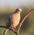Mourning Dove (7304787228).jpg