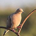Mourning Dove (7304787228).jpg