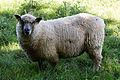 Mouton bleu du Maine, Écomusée du pays de Rennes, France.jpg