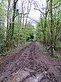 Muddy lane between the trees - May 2012 - panoramio.jpg