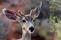 Mule Deer (8043749858).jpg