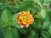 Multi-colored Wild Lantana Camara 3.JPG