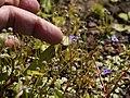 Murdannia semiteres (Dalzell) Santapau (8070815925).jpg