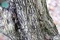 Murraya paniculata 6zz.jpg