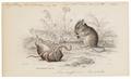 Mus minutus - 1700-1880 - Print - Iconographia Zoologica - Special Collections University of Amsterdam - UBA01 IZ20500093.tif