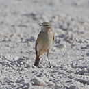 Muscisaxicola flavinucha Ochre-naped Ground-Tyrant