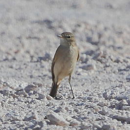 Muscisaxicola flavinucha Ochre-naped Ground-Tyrant.JPG