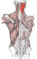 Musculus splenius capitis marked.png