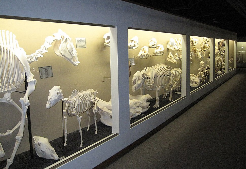 Museum of osteology ungulate exhibits