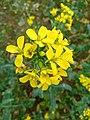 Mustard Flower-1.jpg