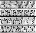 Muybridge, Eadweard - Hansel, frei gehend (0.90 Sekunden) (Zeno Fotografie).jpg