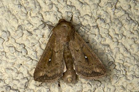 Mythimna albipuncta, Lodz(Poland)01(js).jpg