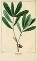 NAS-017 Quercus pumila.png