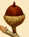 NAS-018f Quercus × heterophylla acorn.png