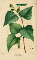 NAS-071 Betula populifolia.png