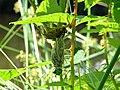 NSG Teichfledermausgewässer, Metamorphose einer Libelle Bild 1.jpg