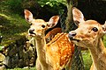 Nara (3810598049).jpg