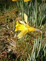 Narcissus hispanicus closeup flower 01.JPG