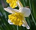 Narcissus tazetta ENBLA02.jpg
