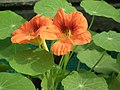 Nasturtium from lalbagh 2106.JPG
