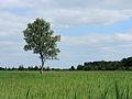 Nationaal Park Weerribben-Wieden. eenzame berk.JPG