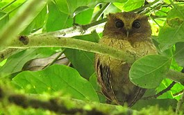Near-endemic Colombian Screech-Owl - Megascops colombianus 1 - Otun, C Andes (15931977710).jpg