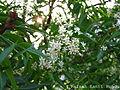 Neem flowers with leaves.jpg