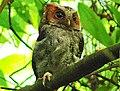 Negros Scops Owl, Liptong, Valencia, Negros Oriental (cropped).jpg