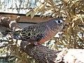 Neopsephotus bourkii -Australia -captive-8a.jpg