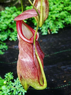 Nepenthes - Nepenthes at the Periyar Tiger Reserve, in Southern Western ghats of India.