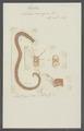 Nereis norvegica - - Print - Iconographia Zoologica - Special Collections University of Amsterdam - UBAINV0274 102 04 0002.tif