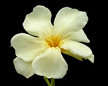 Nerium wikipedia nerium oleanders in galveston yellow is unusual mightylinksfo
