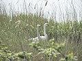 Nesting Swans - geograph.org.uk - 801164.jpg