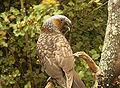 Nestor meridionalis (Kaka) -Stewart Island-6.jpg