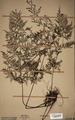 Neuchatel Herbarium Types NEU000113021.tif