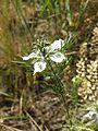 Nigella arvensis sl30.jpg