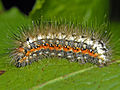 Noctuidae - Acronicta euphorbiae - Caterpillar.jpg