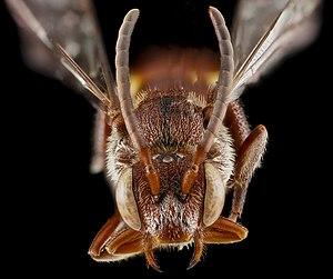 Nomada - Nomada maculata, female