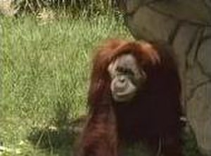 Nonja (Malaysian orangutan) - Nonja, believed to have been the world's oldest orangutan