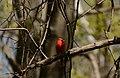Northern Cardinal (Cardinalis cardinalis) (34333680284).jpg