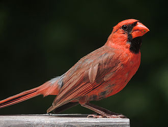 Cardinal (bird) - Male northern cardinal