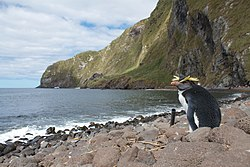 Northern Rockhopper Penguin on Inaccessible Island.jpg