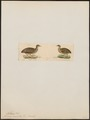 Nothura maculosa - 1820-1860 - Print - Iconographia Zoologica - Special Collections University of Amsterdam - UBA01 IZ18900247.tif