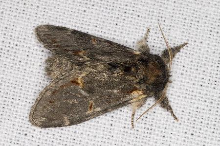 Notodonta dromedarius, Lodz(Poland)03(js).jpg