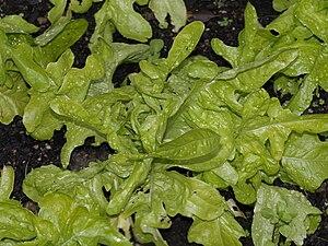 Ekbladssallat med gröna blad