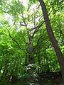 Oak przy Samotnej nad Wdą.jpg