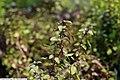 Ocimum basilicum Mini Purple 1zz.jpg
