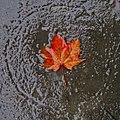 October leaf drenched (2922218958).jpg
