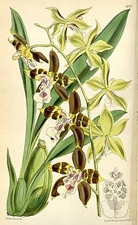 Odontoglossum tripudians